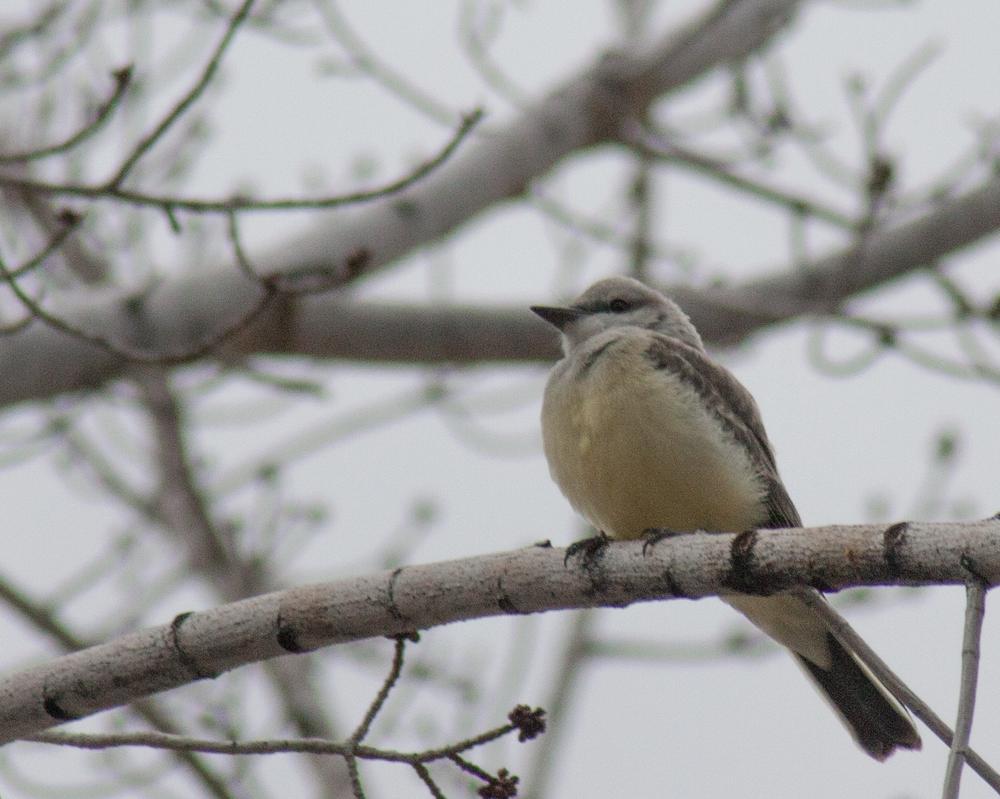 Juvenile Western Kingbird by fotomedic