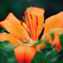 Orange flower by OreGaOmaeOMamoru
