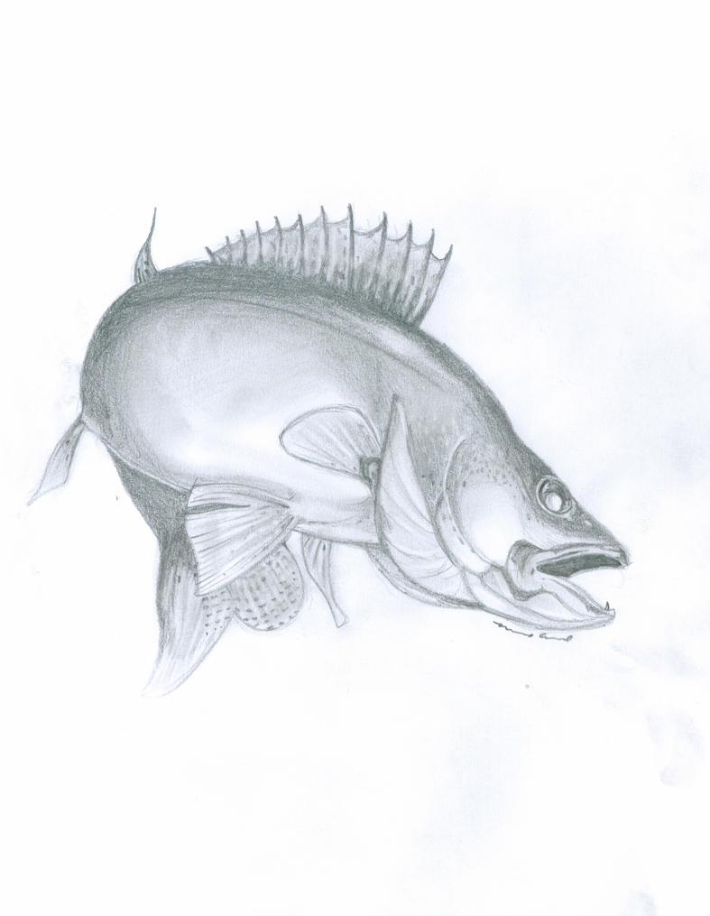 walleye fish drawing