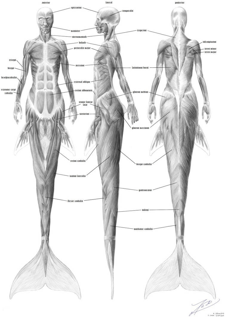 Mermaid musculature