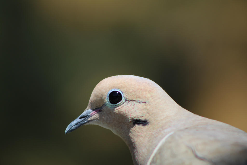 Mourning Dove Closeup by Nicki3366