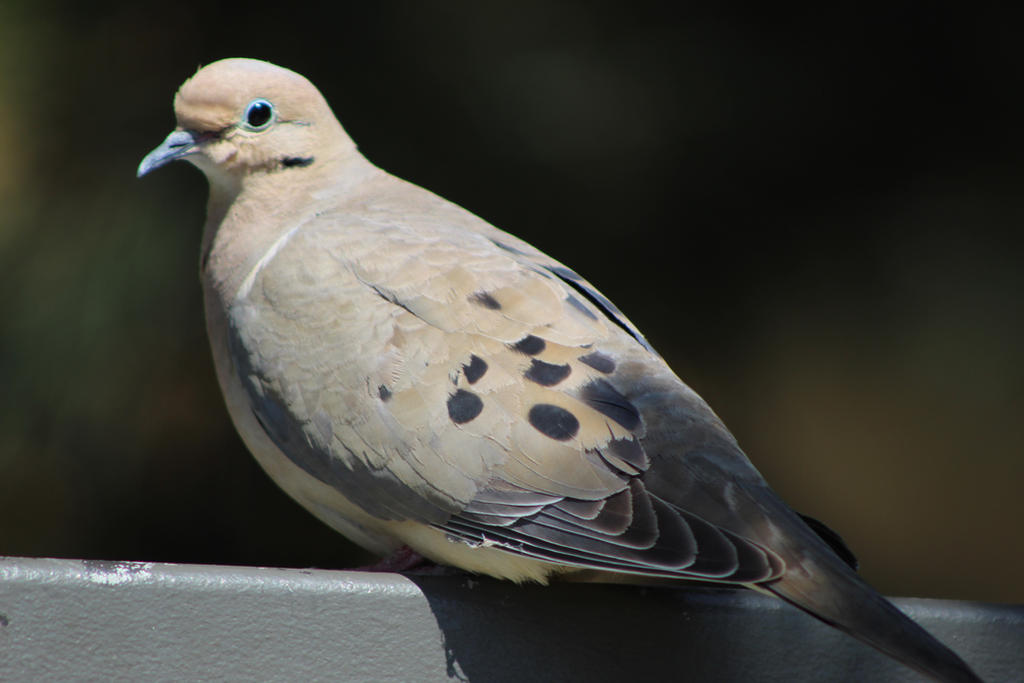 Mourning Dove Closeup #2 by Nicki3366