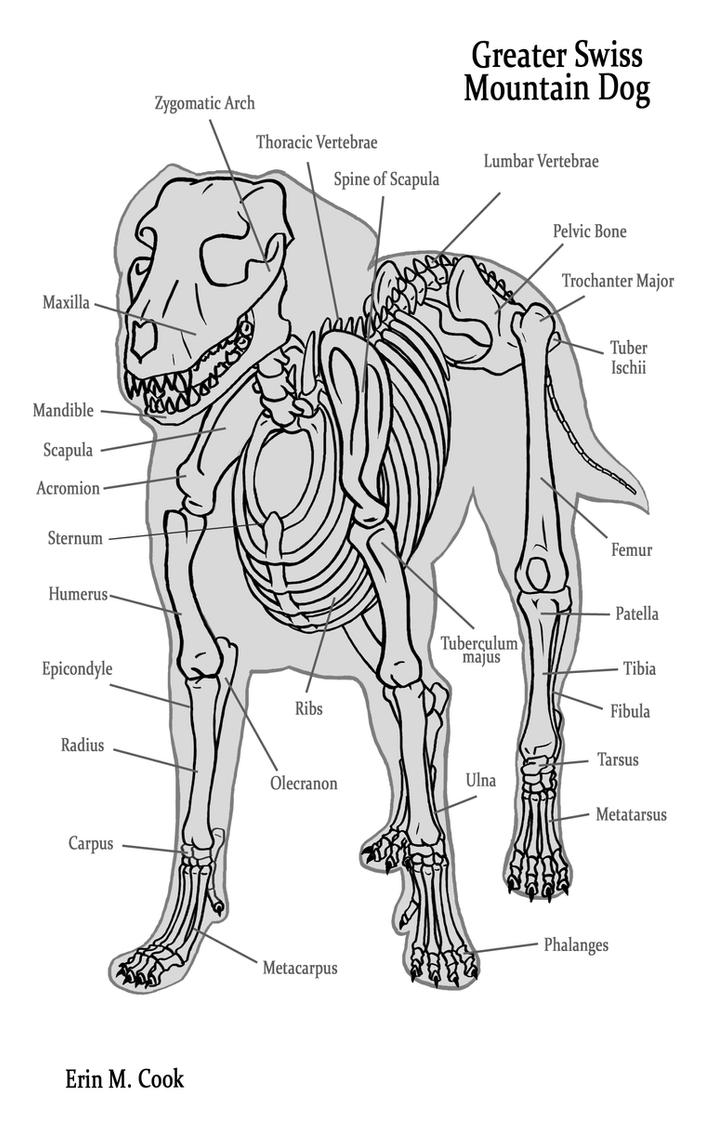 Dog Anatomy the Bones by COOKEcakes on DeviantArt
