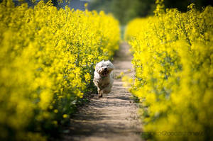 In the colza by Dog-Paw