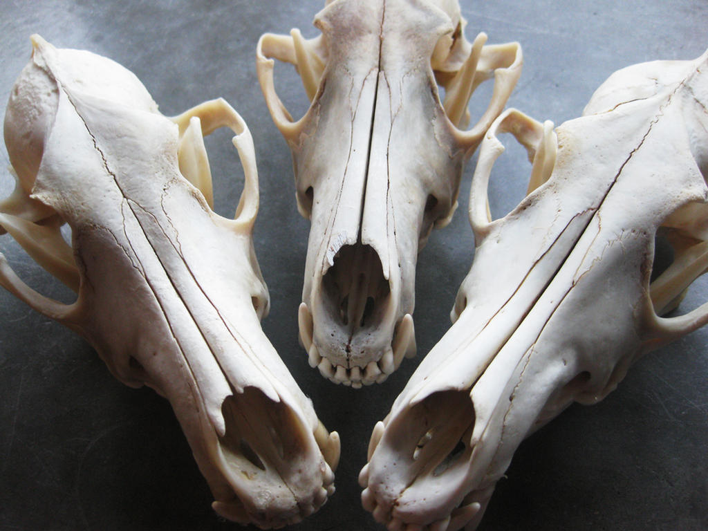 Coyotes by apocastasis
