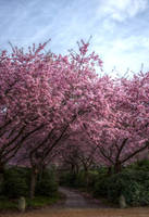 Japanese Cherry Tree - HDR by TiKy2010
