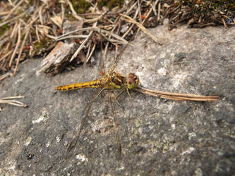 Dragonfly by Makinit