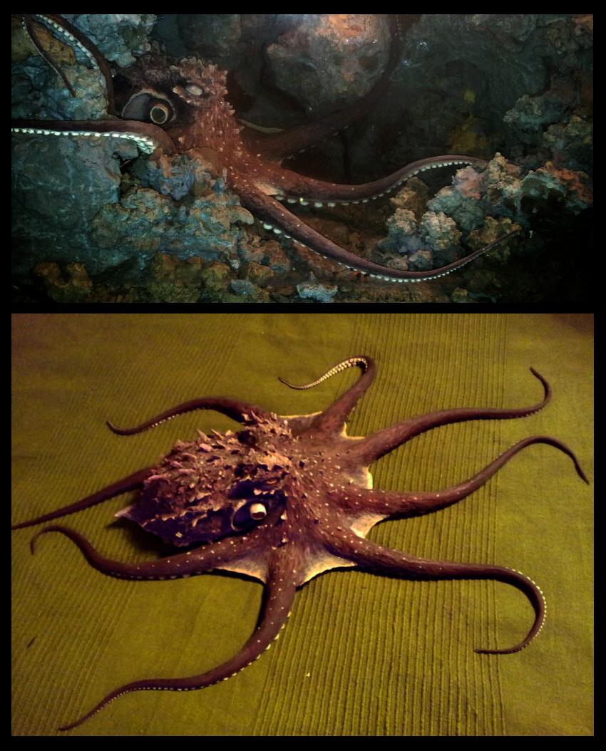 Silicone octopus animatronic