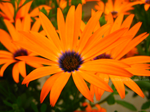 Orange Symphony by SepticSkeptik