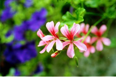 Red Flowers by deelkar