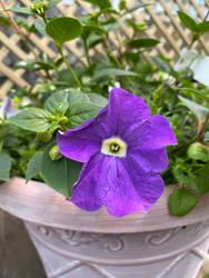 A lone purple