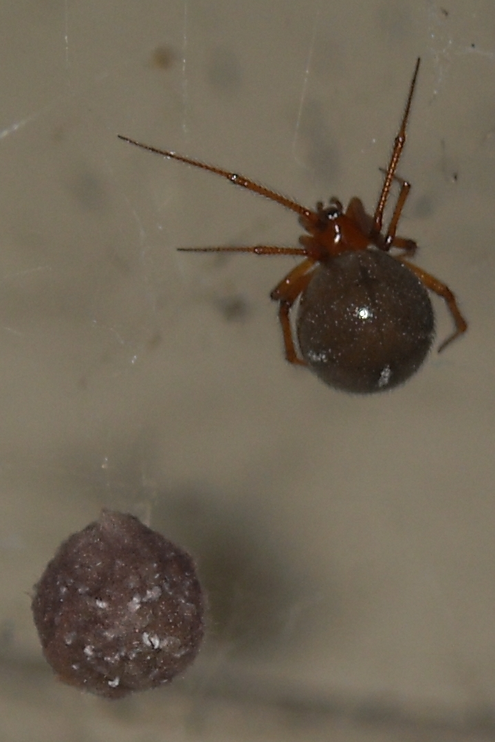 American house spider egg sac - photo#31