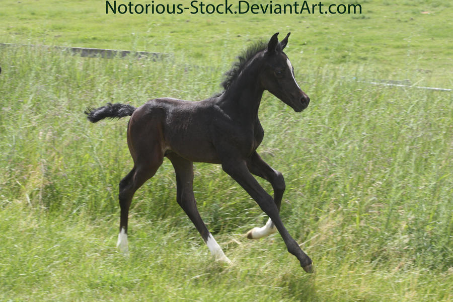 Arabian Colt 002 by Notorious-Stock