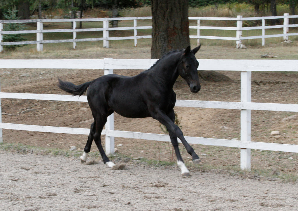 Black Warmblood Colt 013 by Notorious-Stock