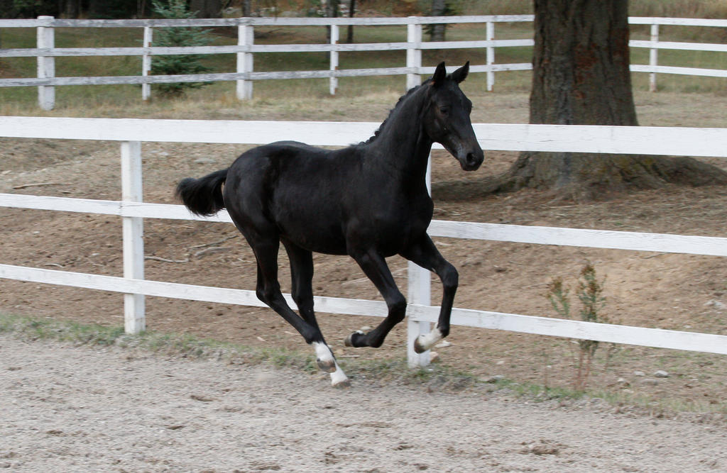 Black Warmblood Colt 012 by Notorious-Stock