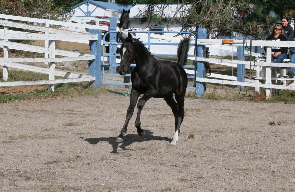 Black Warmblood Foal 017 by Notorious-Stock