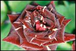 Sangoire rose