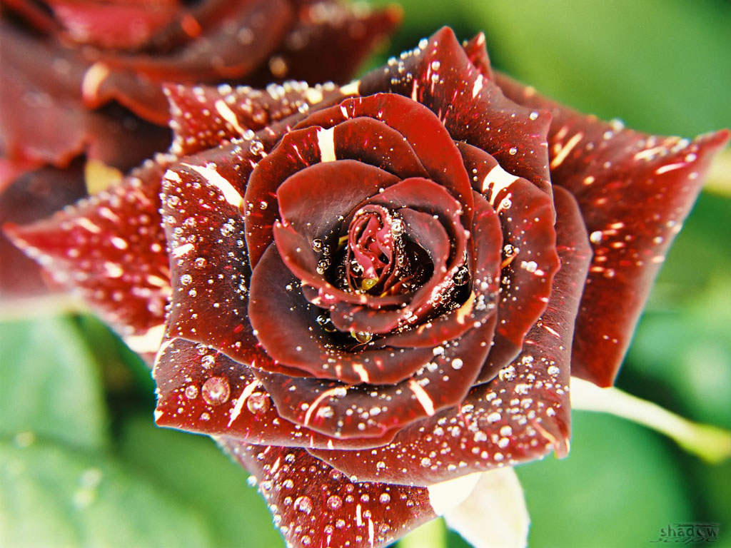 Tears of a rose
