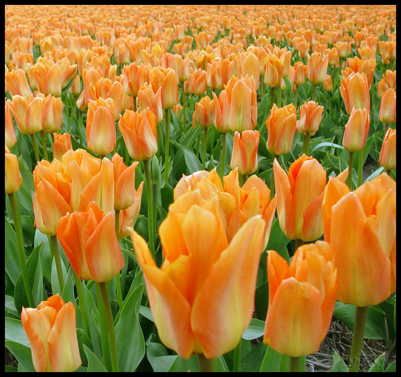 Fractal tulips