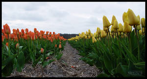 War of the tulips