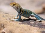 Collared Lizard, Mesa Verde