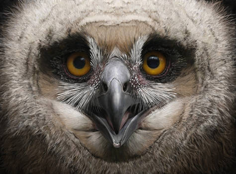 Eagle owl chick