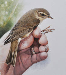Willow warbler in ringer's hand