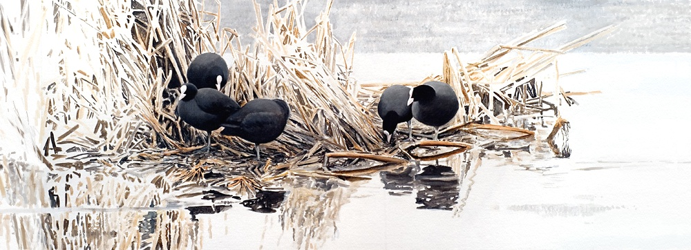 Coots by Renum63