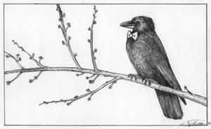 Mr Crow is Ready for Spring by SaskiaDeKorte
