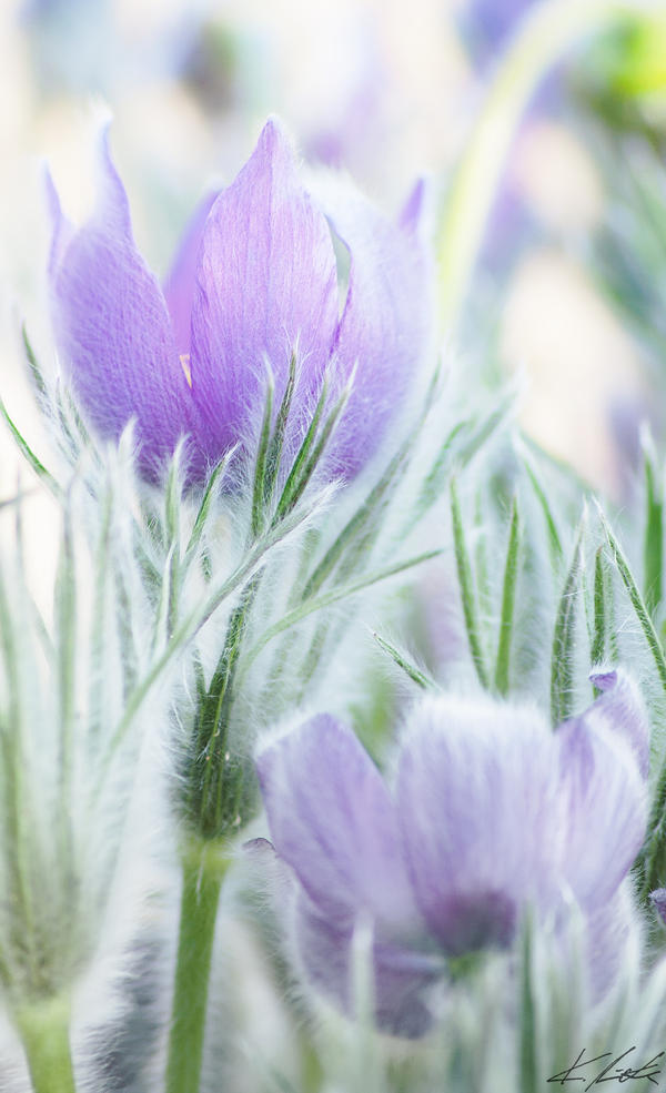 Pasque Flower by Luxxs