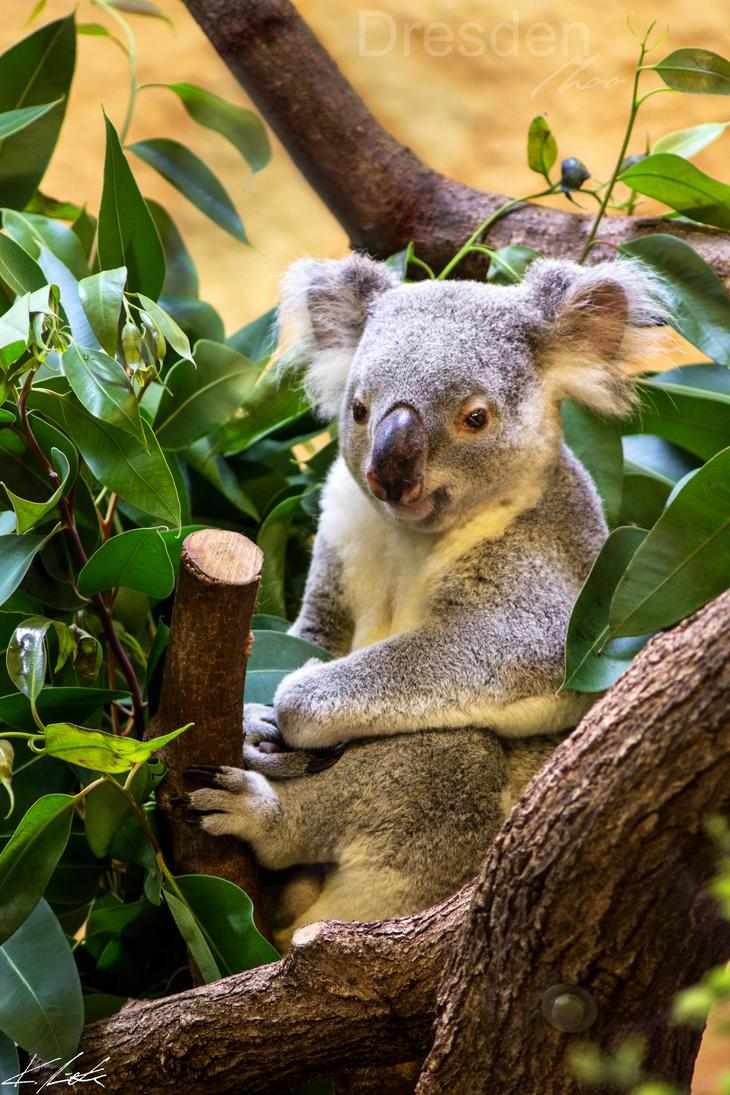 Koala I by Luxxs