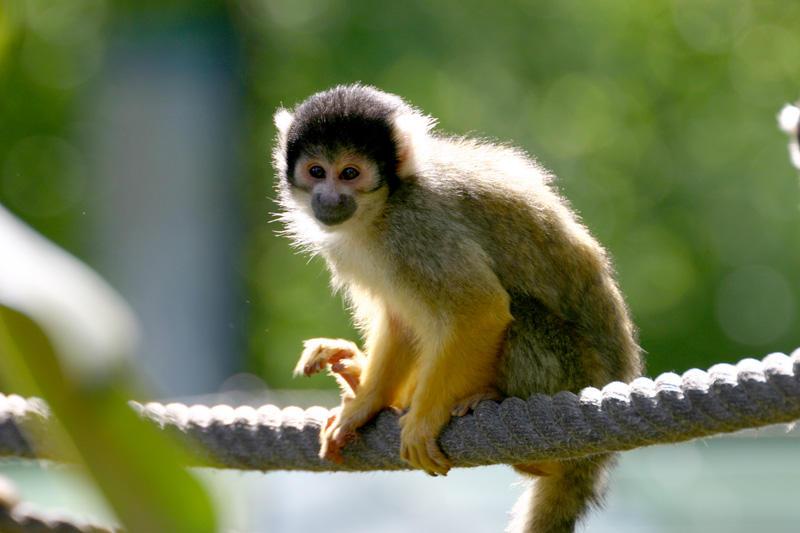 Small pet monkey breeds