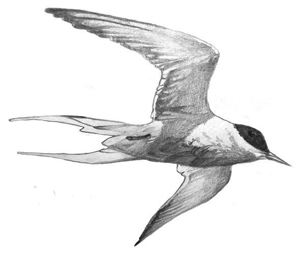Arctic Tern [sotw] by gentlerats