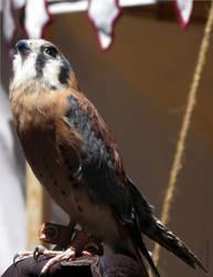 Sparrow Hawk from Valhalla 2010 by SurfTiki