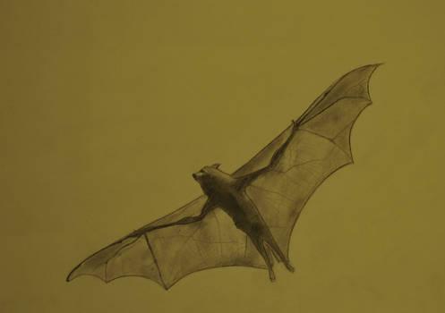 Pteropus scapulatus