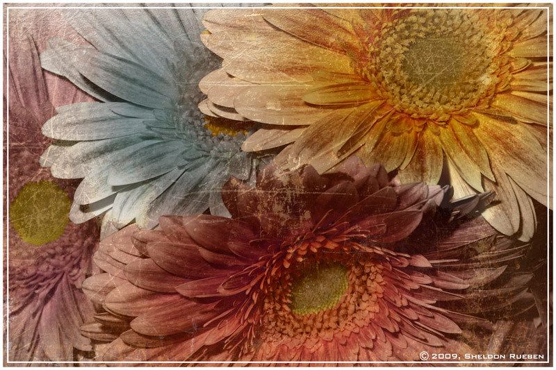 Dreaming of Daisy by Sheldon-Rueben