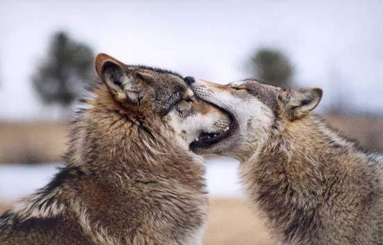 Image result for wolf greeting