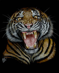 Tiger Roaring by AndyGill1964