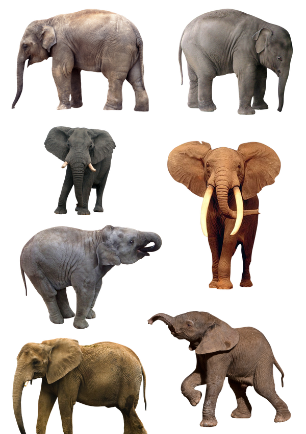 Elephants PNG 1