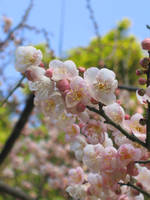 Plum Blossoms closeup by aimeekitty
