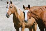 Curious Range Horses