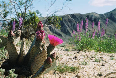 Cacti in Bloom by SwordOfScotland
