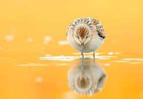 gambecchio by FrancoBorsiWildLife