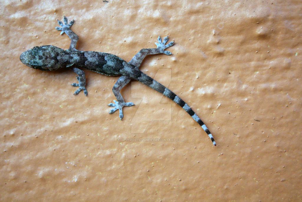 Mediterranean House Gecko By Beverlycrusher On Deviantart