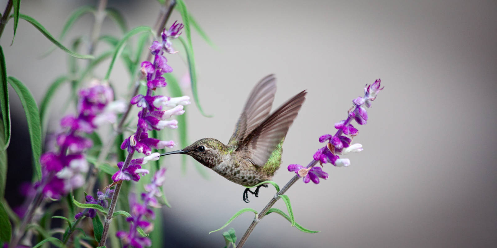 Hummingbird by JoelFaber