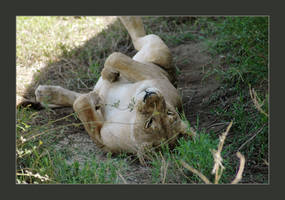 The Lazy Lioness