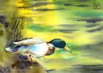 Umykajacy Kaczor / Fleeing duck