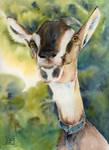 Koza z Gorzna/ Goat from Gorzno