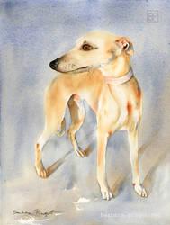 Sloneczny Chart/ Sunny greyhound