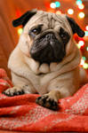 The pug with the scent of Christmas